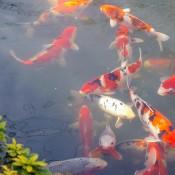 Fish pond in Sensoji Temple garden in Tokyo. Photo by alphacityguides.